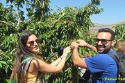 Cherry Picking in Jwar El Hawz with Vamos Todos