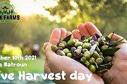 Olive harvest day in Batroun