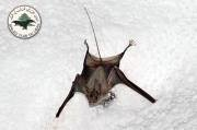 Bats of Lebanon