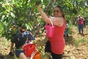Cherries in Hammana! Enjoy Cherry picking in the mountains with NeosKids