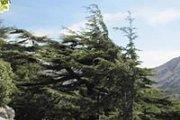 Cedars of Tannourine with Adventures in Lebanon