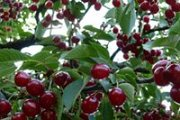 CHERRY Picking Day with DALE CORAZON - LEBANON EXPLORERS