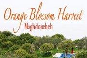 Orange Blossom Harvest at Maghdoucheh