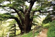 Becharreh - Cedars - Qozhaya
