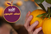 Orange Picking at Les Ateliers de Tyr