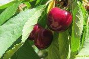 Cherry Picking with Vamos Todos